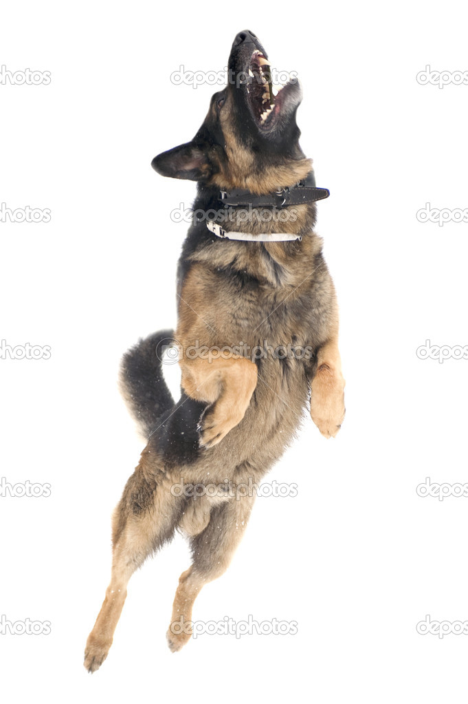 Jump dog on white background
