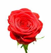 elszigetelt Rózsa virág