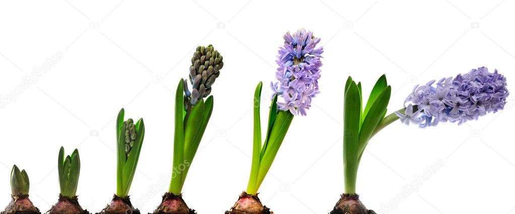 Hyacinth composition