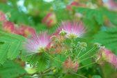 květy akátu