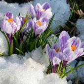 Fotografie Blumen lila Krokusse im Schnee