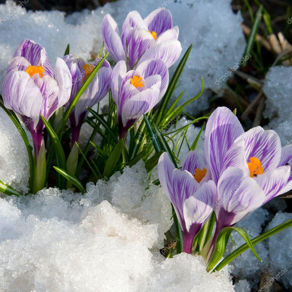 Flowers purple crocus in the snow