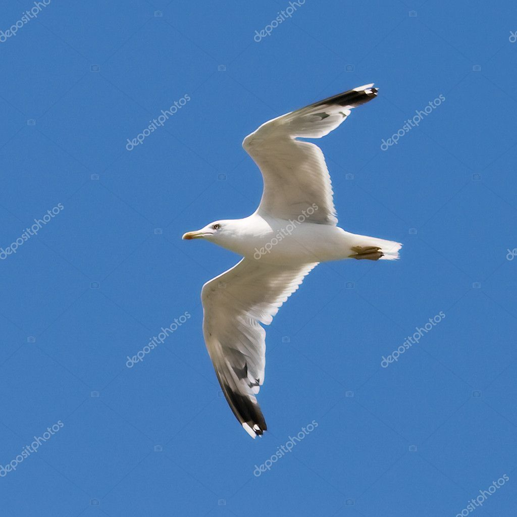 Seagull on the blue sky background
