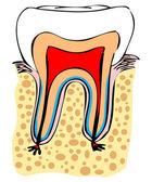 Fotografie normale Zahn Vektor medizinische