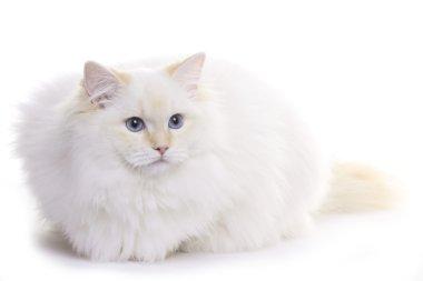 Cat, ragdoll