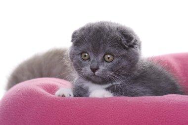 Kitten - scottish fold