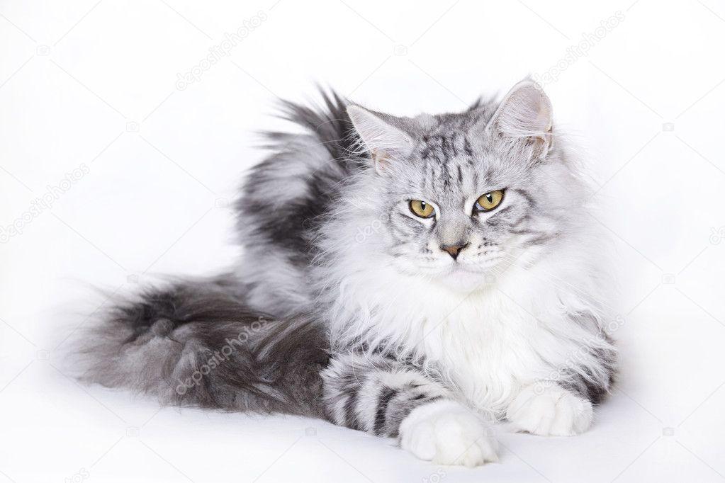 Piękny Kot Rasy Maine Coon Zdjęcie Stockowe Emprise 2363101