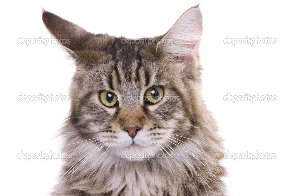 Cat portrait, Main coon