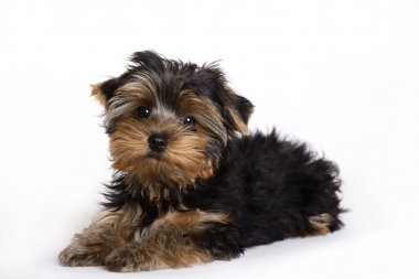 Dog, Yorkshire terrier puppy
