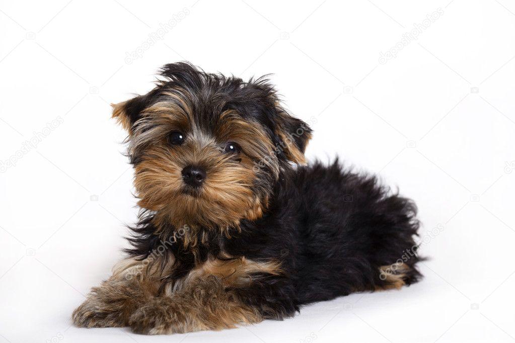 Yorkshire Terrier Kolyok Kutya Stock Foto C Emprise 2450420