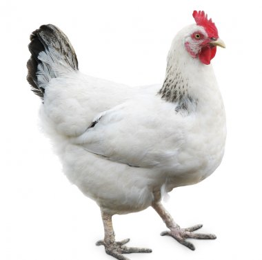 Hen, chicken isolated