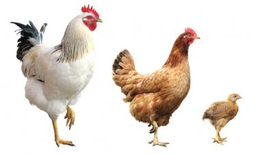 Funny chicken, hen and rooster