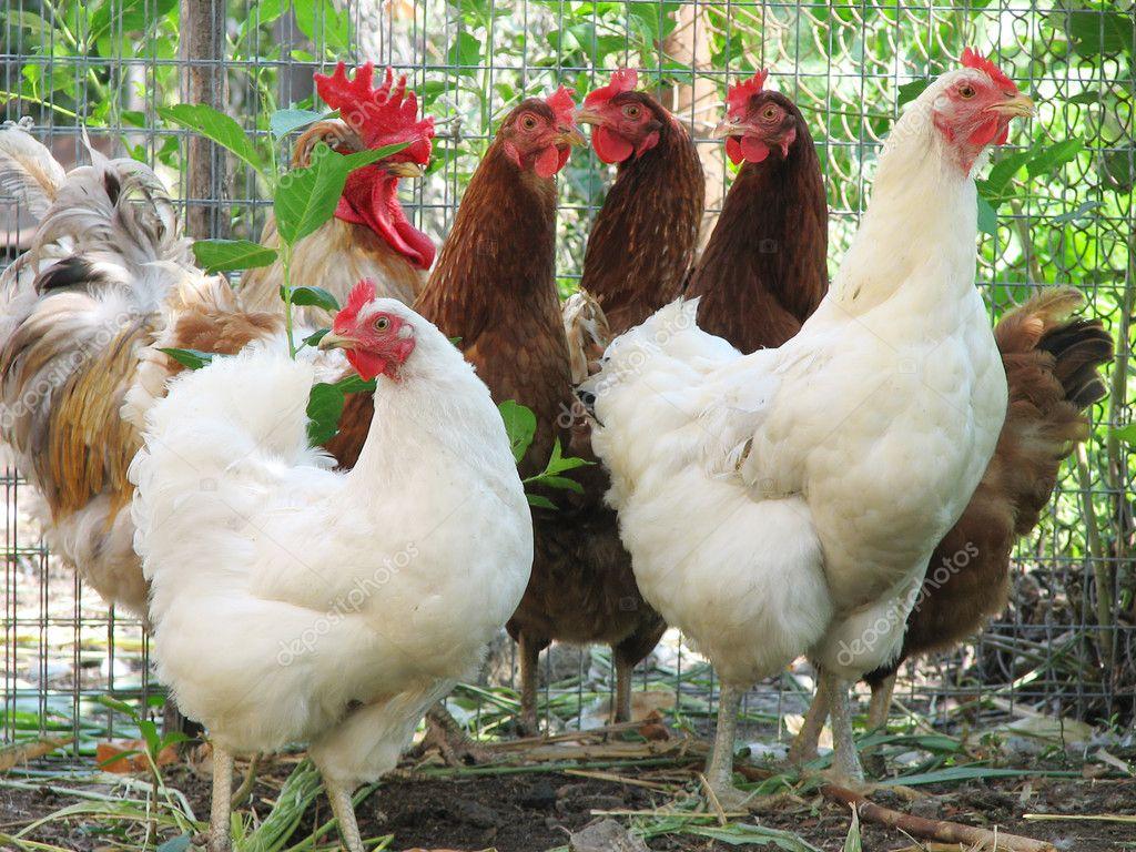 Groupe de poules pondeuses avec coq photographie liliya 1622694 - Ou acheter des poules pondeuses ...