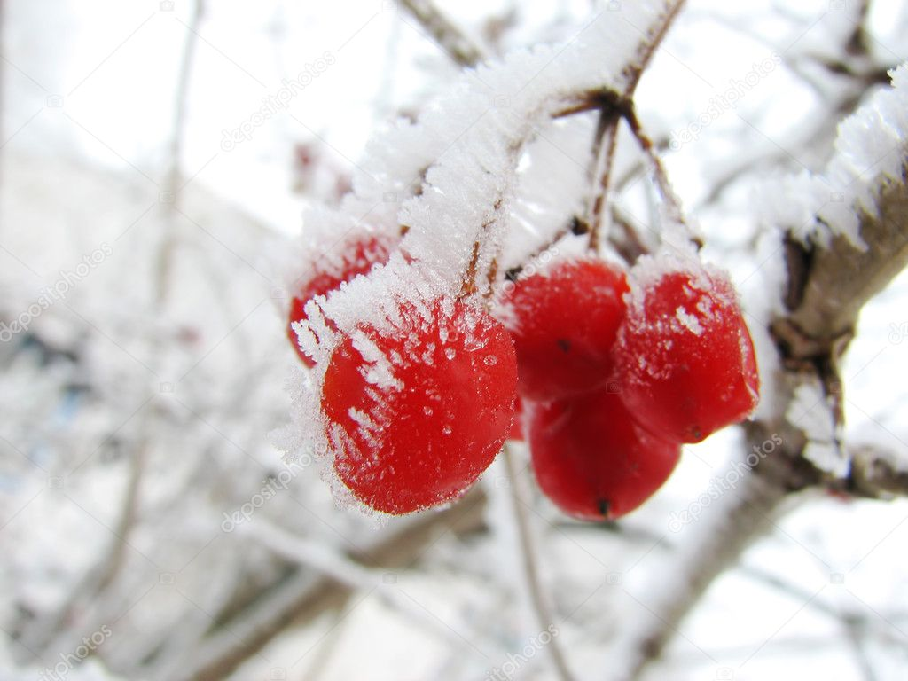 Red viburnum berry on frost