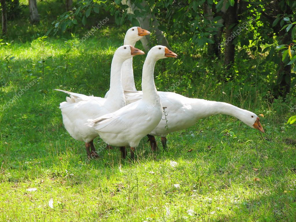 White geese on the green grass