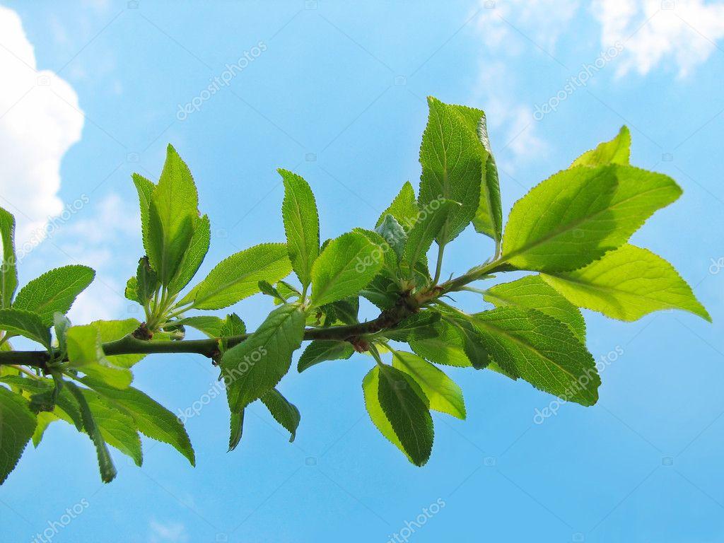 branche d 39 arbre avec un feuillage luxuriant photographie liliya 1629074. Black Bedroom Furniture Sets. Home Design Ideas
