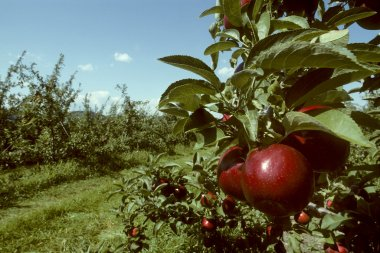 Red Empire apples in an orchard
