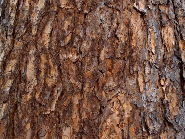 Bark of the Siberian cedar
