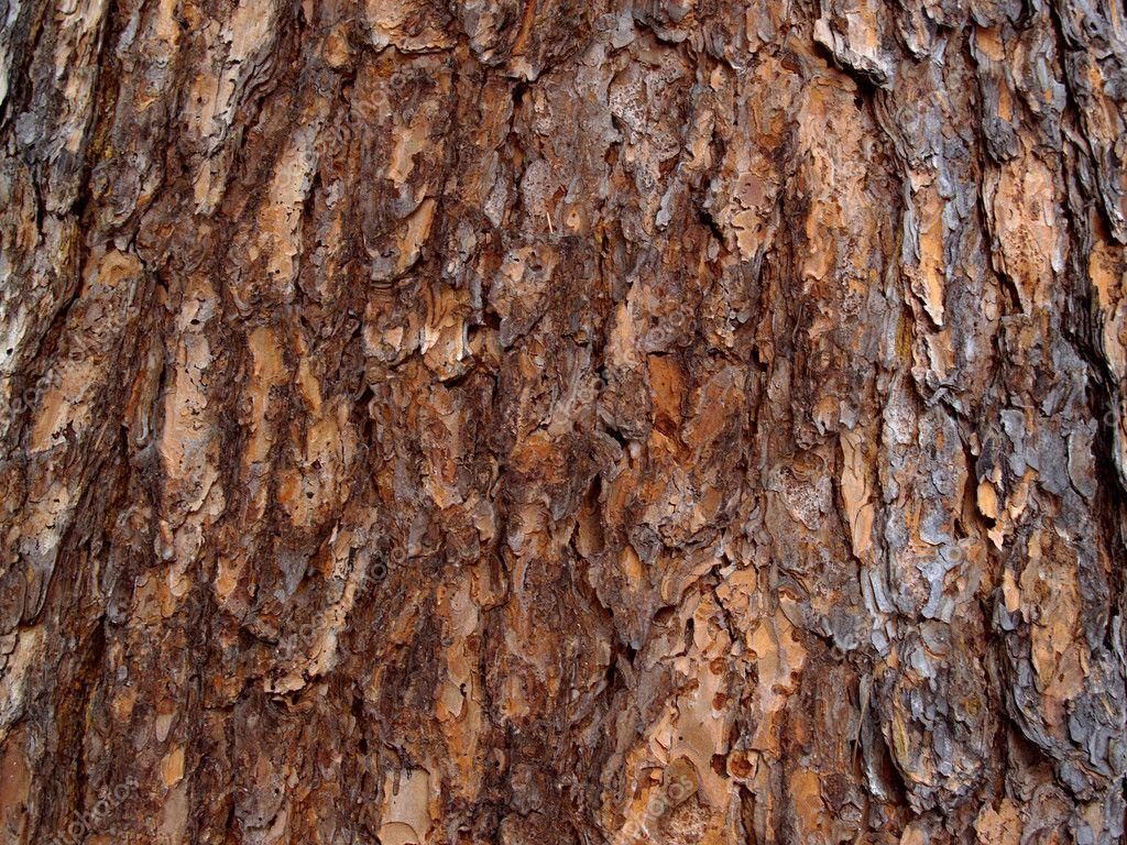 Bark of the Siberian cedar