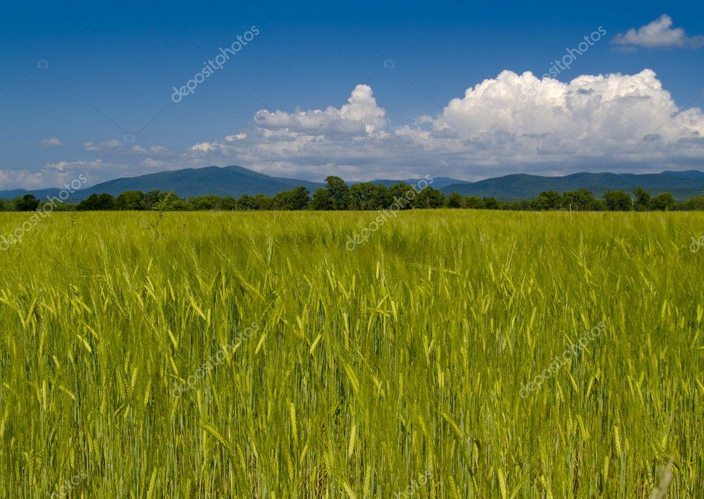 The Field unripe wheats Russia
