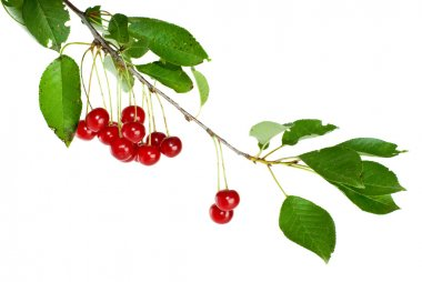 Cherry branch with few berries