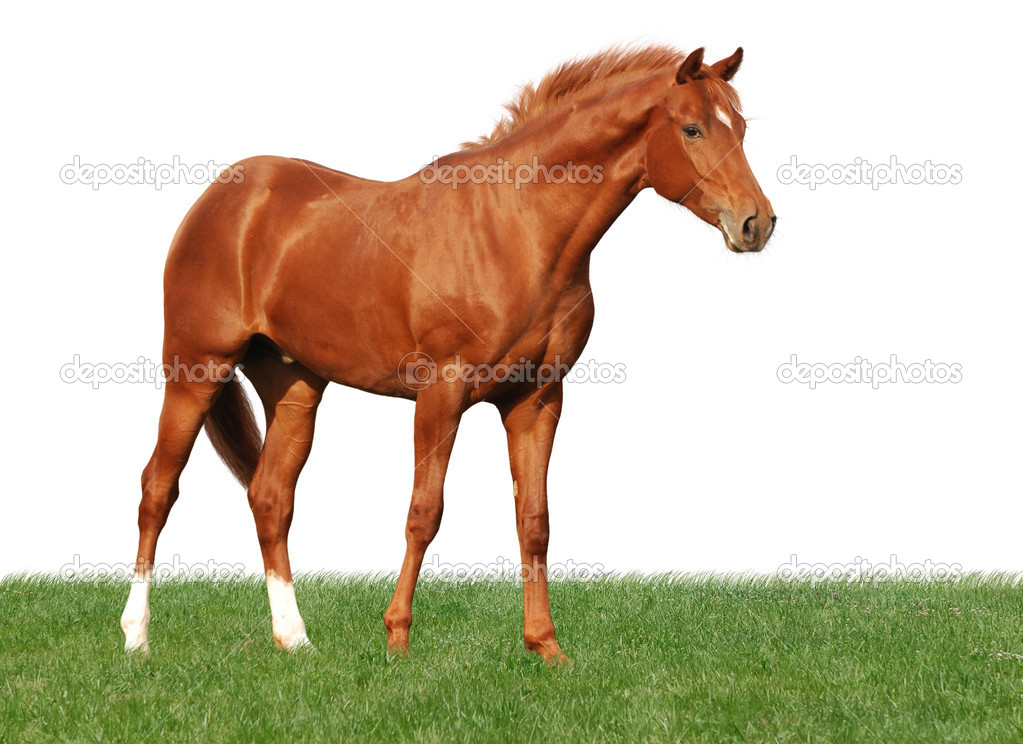 Chestnut horse on grass isolated on whit