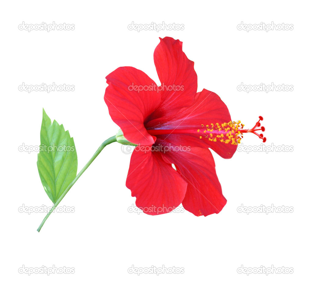 Red hibiscus isolated on the white backg