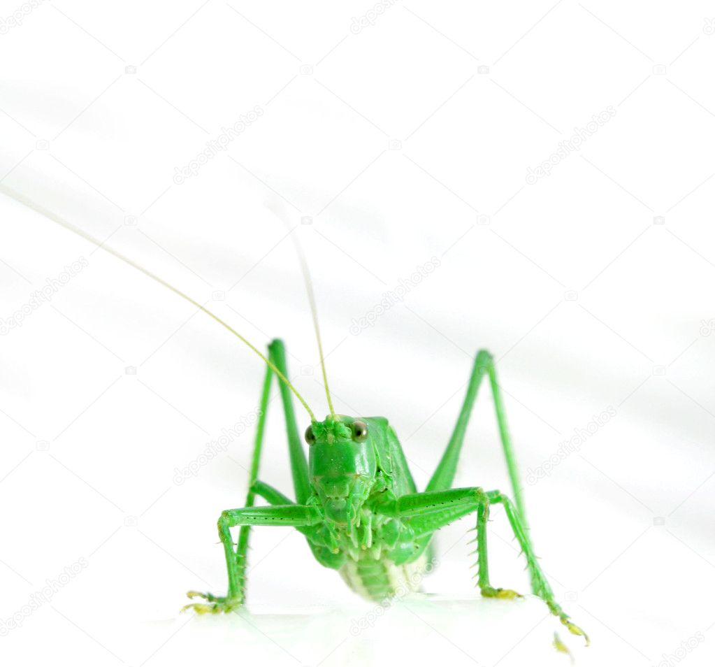 Isolated green grasshopper