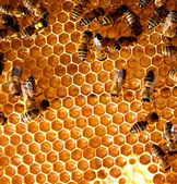 Fotografie Honey comb and a bee