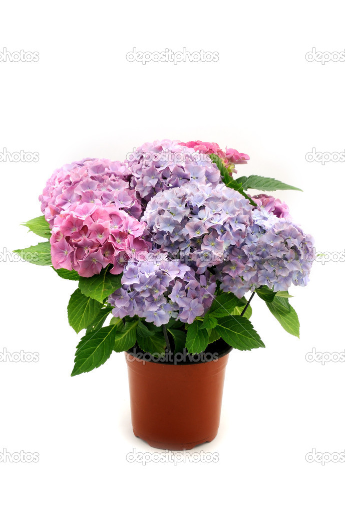 Hortensia in the pot