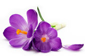 Photo Crocus