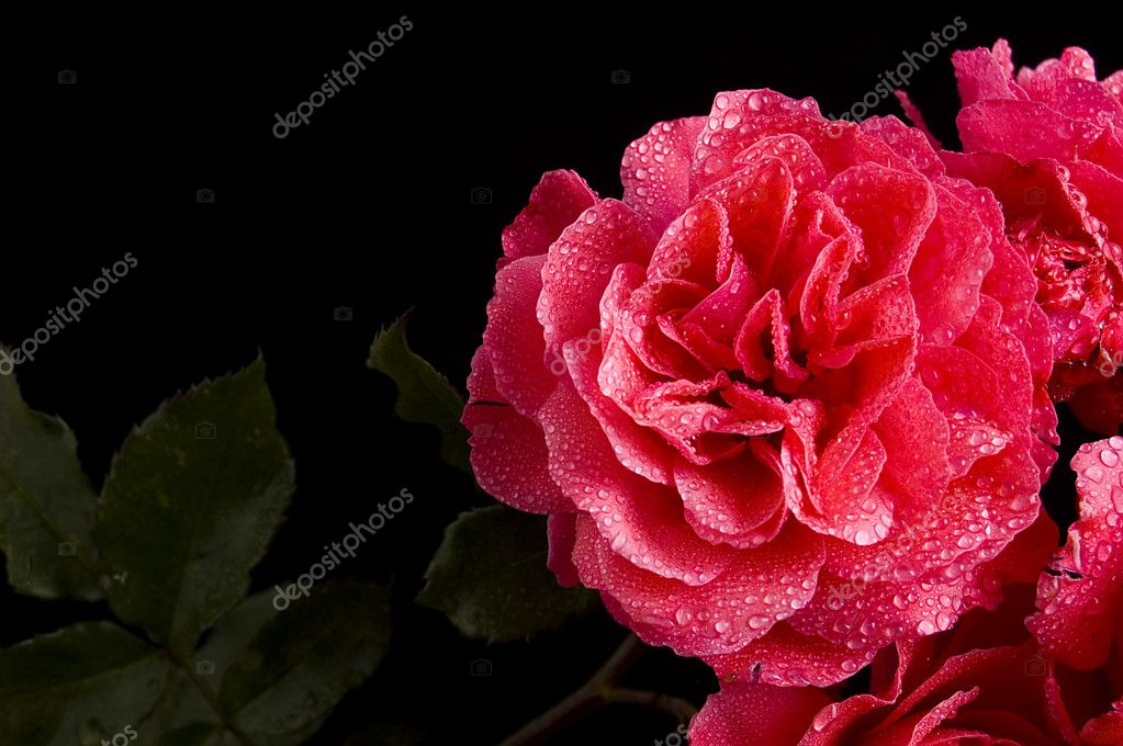 Red rose with water drops over black