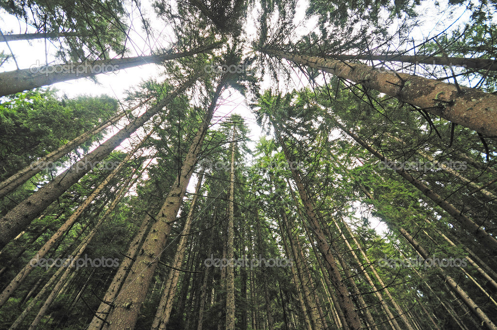 Forest trees with wide angle lens