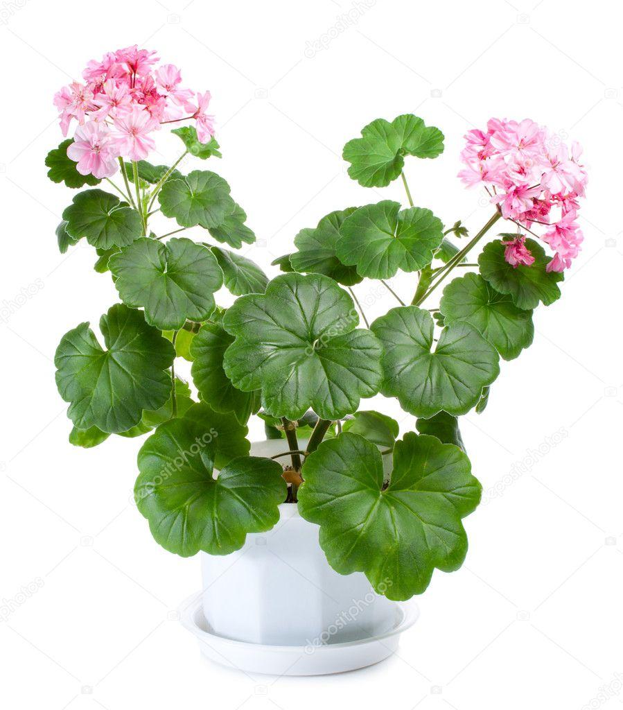 Blossoming geranium in pot