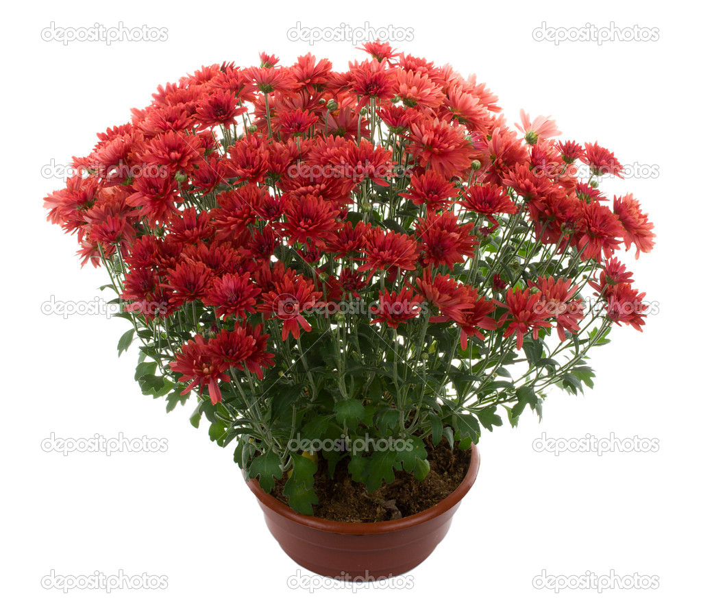 Chrysanthemum flowers in pot