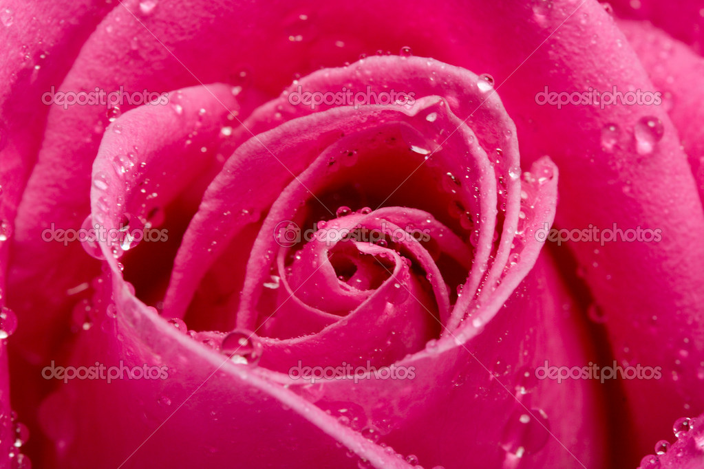 Close-up pink rose with water drops