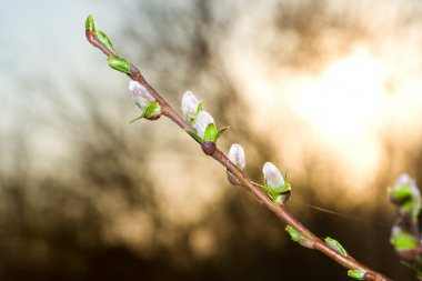Pussy-willow branch at dawn