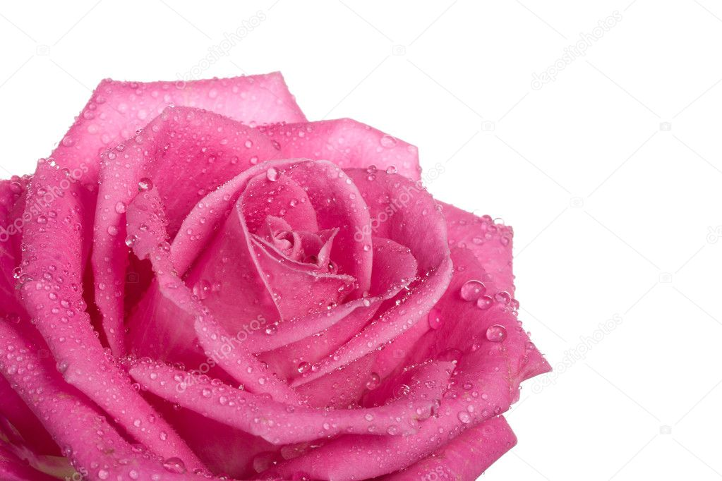 Part of pink rose with water drops