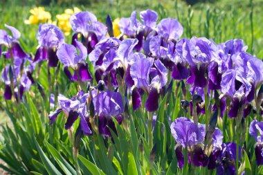 Blooming violet irises