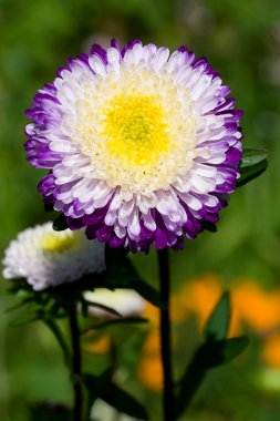 Purple-white asters on green grass