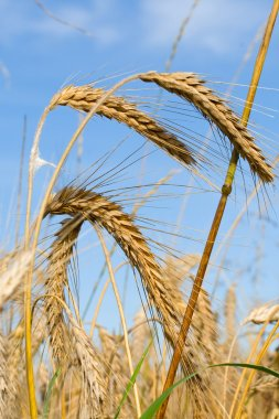 Ripe rye ears against a blue sky