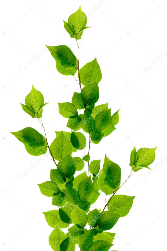 Birch branch isolated