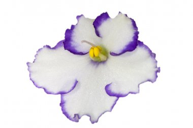 White with blue isolated violet