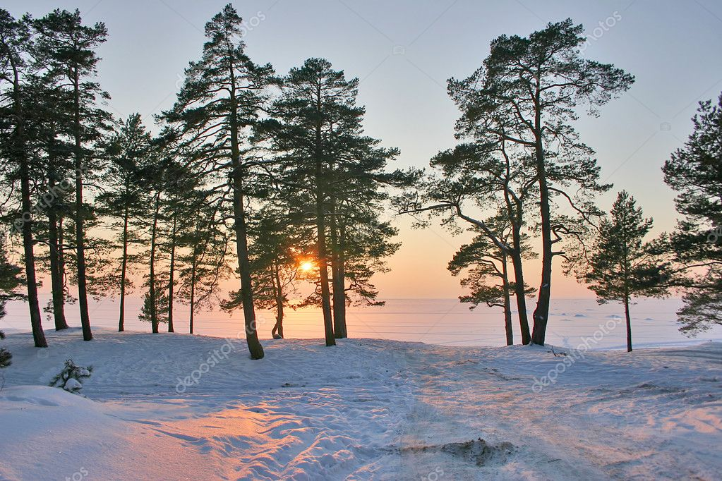Sunset in snow pine forest