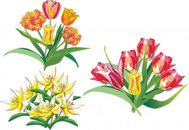 Tulip bouquets on white