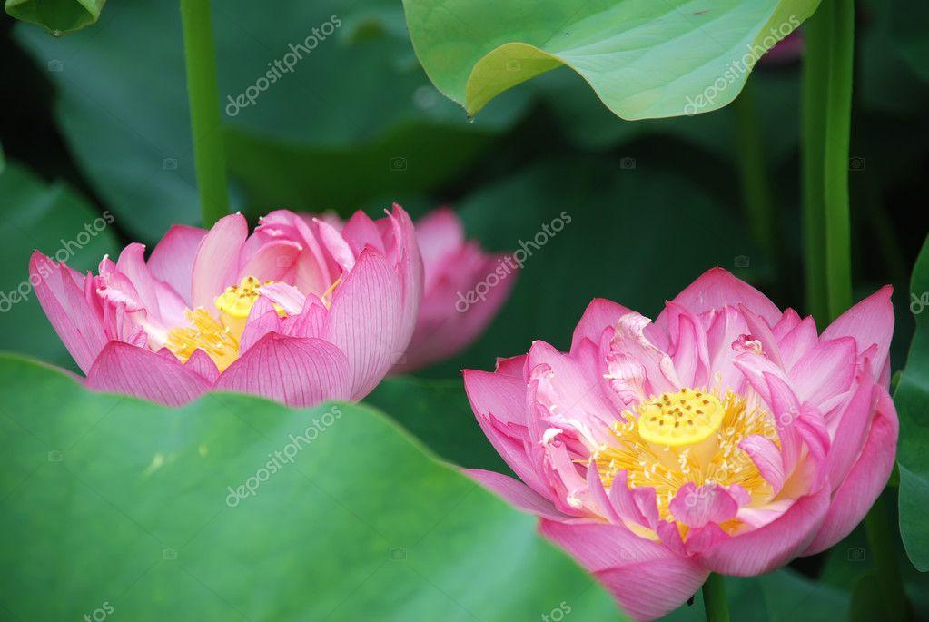 Pink lotus 2