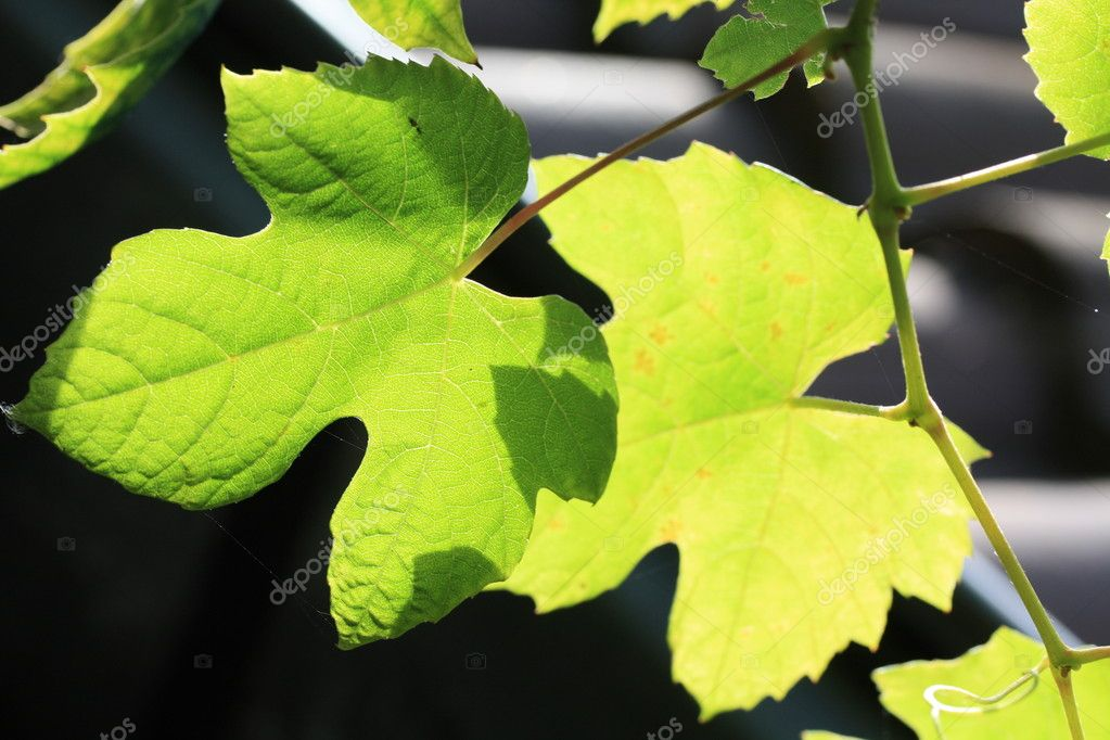 Grape leaves in the sun