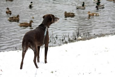 Duck hunting german shorthaired pointer