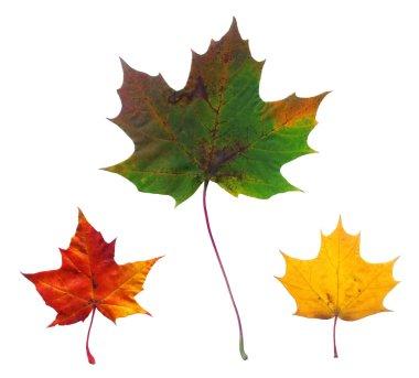 Full-size photo of maple autumn leaves