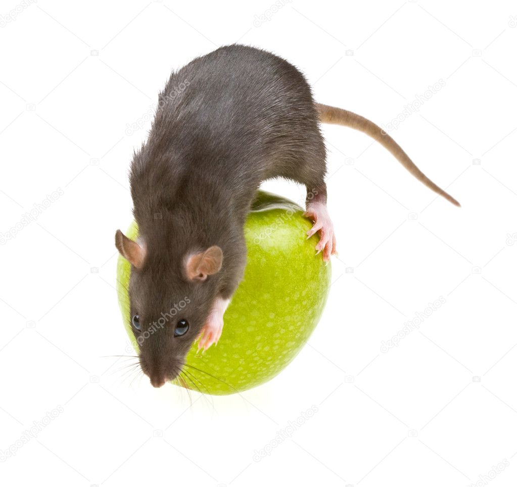 Funny rat and green apple